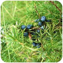 Juniperus_communis
